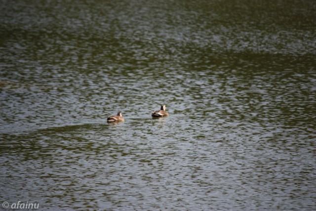 泳ぐ鳥さんたち