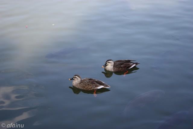池の上を泳ぐ鳥さんたち
