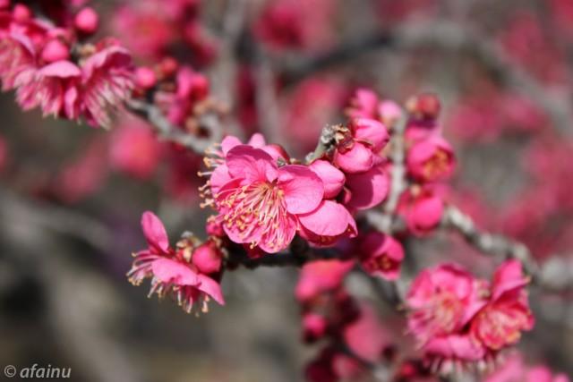 梅の花(紅)