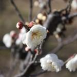 梅の花(白)