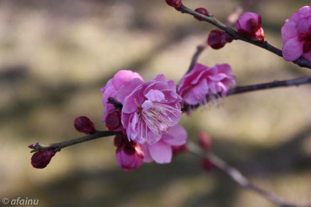 梅の花も咲き始めました