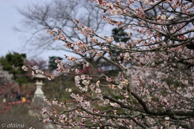 中山寺の梅