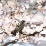 ベランダの前の桜にやってきた鳥さん