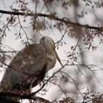 桜の木に止まった大きな鳥さん