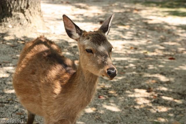 宮島の鹿くん