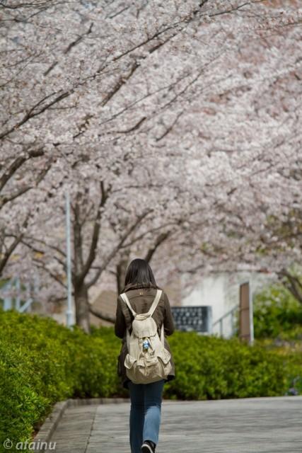桜並木の下を