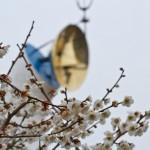 白梅と太陽の塔