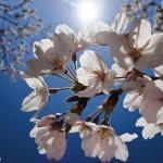 桜の花と太陽と