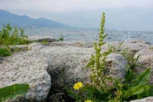湖岸の花 (Astia)