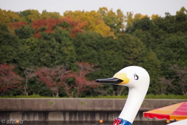 白鳥も見つめる紅葉