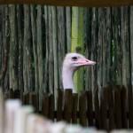 Peeping Ostrich
