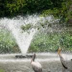 Splash on Pelican