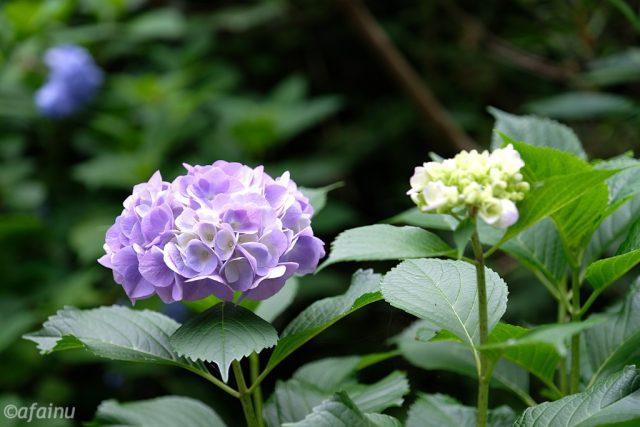 懐かしの紫陽花